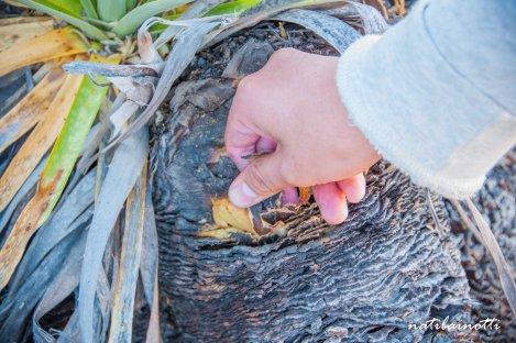 Arbusto fénix... ni que estuviera quemado!